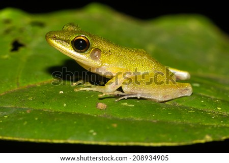 Tiny frog on a jungle leaf at night - stock photo