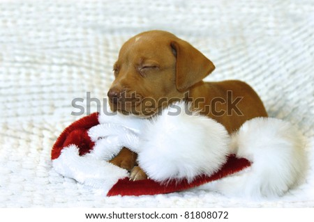 Tiny Golden Retriever puppy lays on his Santa Claus hat.  His eyes are closed and he is afraid he has been too bad for Santa to come visit him so one tiny tear squeezes from his eye. - stock photo