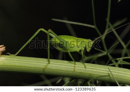 Tiny green katydid