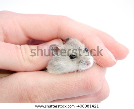 Tiny hamster hiding in human hands (selective focus on the hamster eyes) isolated on white - stock photo