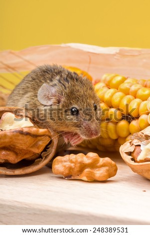 Tiny house mouse (Mus musculus) along walnut and corn seeds - stock photo