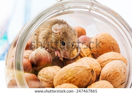 Tiny house mouse (Mus musculus) in walnut and hazelnut jar - stock photo