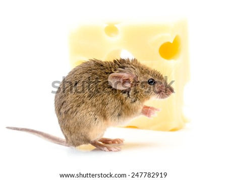 Tiny house mouse (Mus musculus) near big cheese - stock photo
