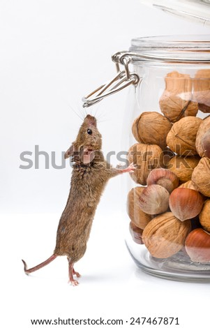 Tiny house mouse (Mus musculus) near walnut and hazelnut seeds jar - stock photo