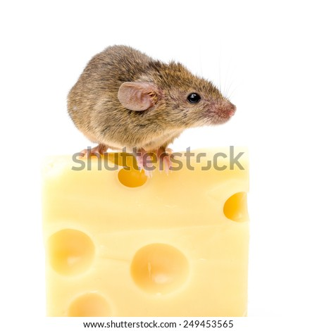 Tiny house mouse (Mus musculus) on big cheese - stock photo