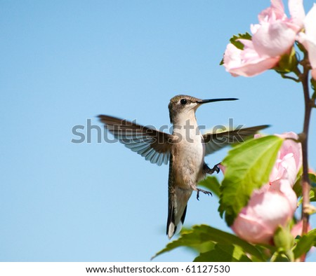 Tiny Hummingbird clinging onto an Althea flower with one foot - stock photo