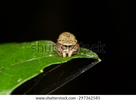 Tiny Jumping spider on a leaves, soft focus - stock photo