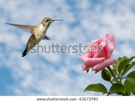 Tiny juvenile male Hummingbird hovering close to a Rose against cloudy skies - stock photo