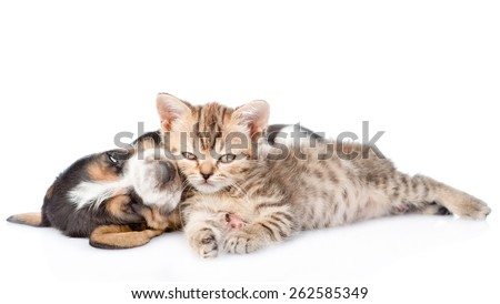 Tiny kitten and sleeping basset hound puppy together. isolated on white background