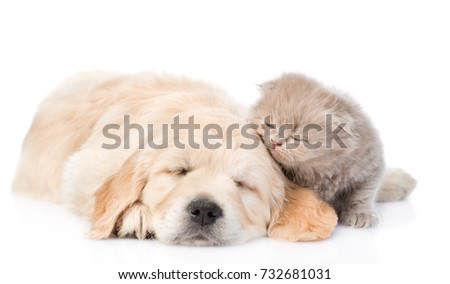 Tiny kitten with sleeping golden retriever puppy. isolated on white background