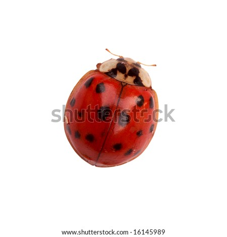Tiny ladybug isolated on white background with clipping path included - stock photo