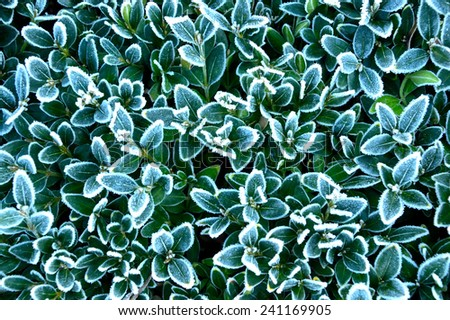 Tiny leaves with frost on the edges - stock photo