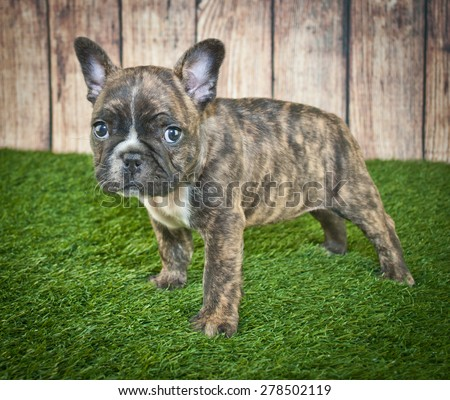 Tiny little French Bulldog puppy standing in the grass with a wooden fence behind him. - stock photo
