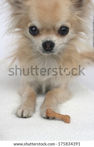 Tiny longhair chihuahua looking at camera waiting for its treat, home made dog cookie - stock photo