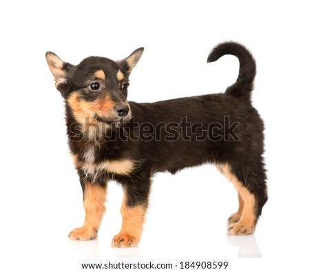 tiny mixed breed puppy dog in full height. isolated on white background - stock photo