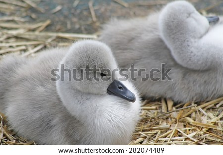 Tiny Mute Swan cygnets resting in their nest  - stock photo