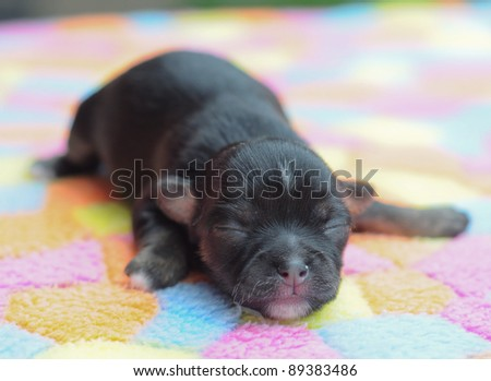 tiny newborn black chihuahua