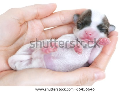 Tiny newborn chihuahua puppy in the palms close-up on white background