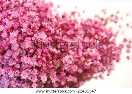tiny pink flowers texture-isolated on white - stock photo