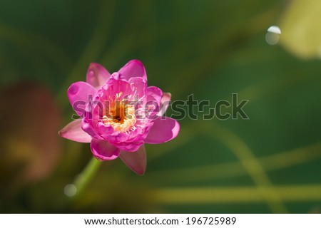 Tiny pink water lily - stock photo