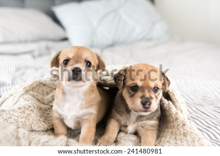 Tiny Puppies Sitting in Bed - stock photo