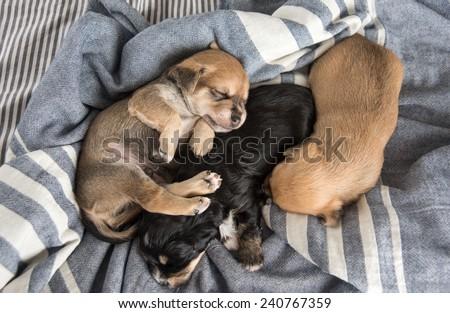 Tiny Puppies Sleeping on Bed - stock photo