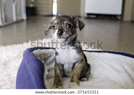 Tiny Puppy sitting in a dog bed - stock photo