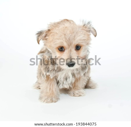 Tiny puppy sitting on a white background with a very sad look on his face.