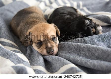 Tiny Puppy Sleeping on Bed - stock photo