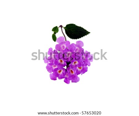 tiny purple flower lantana flowers isolated on a white background