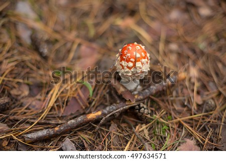 Tiny red amanita mushrooms in autumn forest.