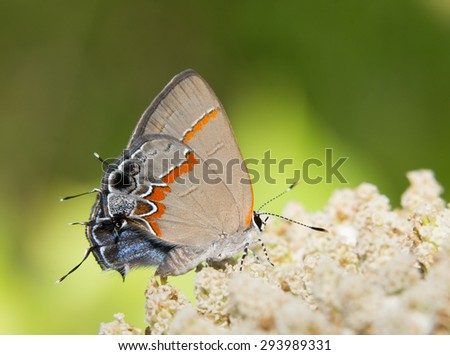 Tiny Red-banded Hairstreak butterfly, Calycopis cecrops, resting on a white wildflower - stock photo