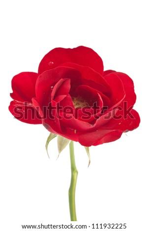 Tiny red rose isolated on white background - stock photo