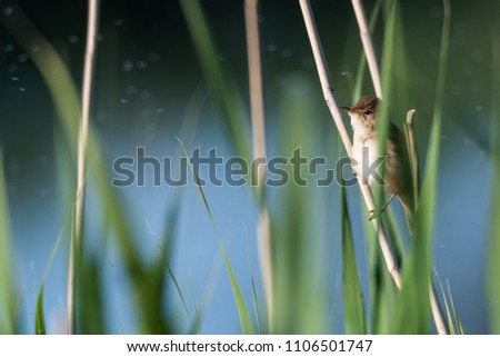 Tiny Reed Warbler hidden in the reeds on the swedish island Oland
