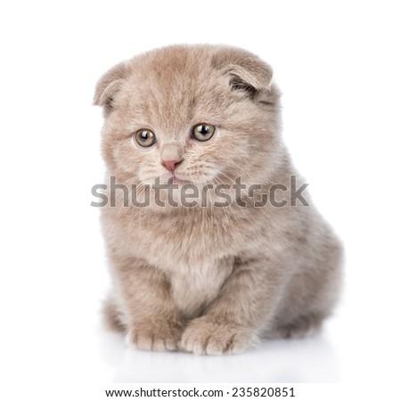 tiny scottish kitten looking away. isolated on white background - stock photo