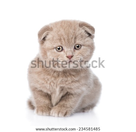 tiny scottish kitten standing in front. isolated on white background - stock photo