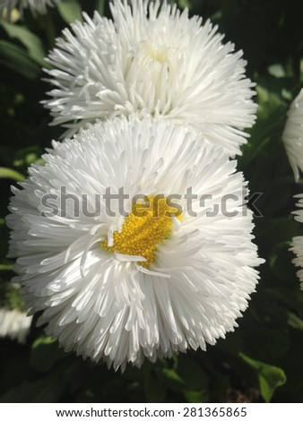 Tiny soft white petals of an English daisy flower with a yellow centerin full bloom - stock photo
