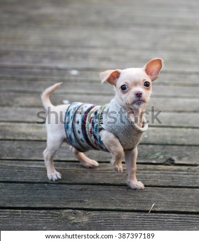Tiny Tan Colored Chihuahua Puppy Outside on Wooden Deck Wearing a Sweater - stock photo