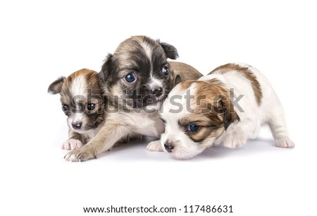 tiny three Chihuahua puppies timidly making first steps on white background
