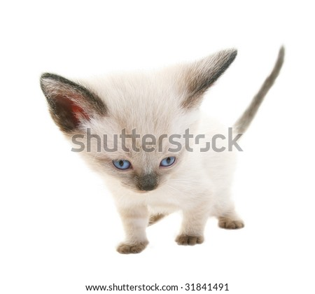 Tiny three week old baby Siamese kitten.  Shot on white background.  Extreme wide angle view. - stock photo
