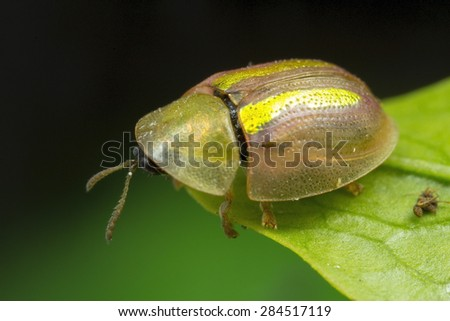 Tiny Tortoise shell beetle, with iridescent green wing covers.