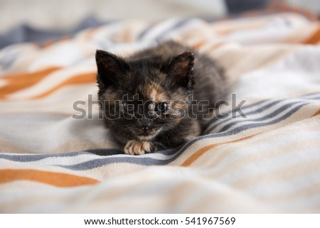 Tiny Tortoiseshell Kitten on Wool Blanket