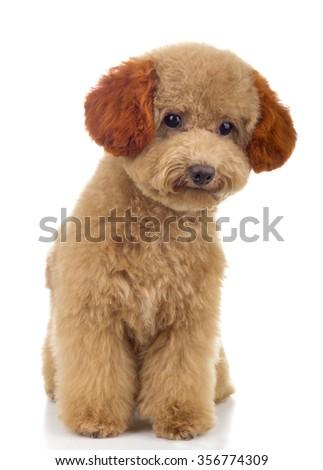 Tiny Toy Poodle - stock photo