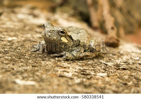 Tiny Tree Frog sitting on a Concrete Step (Profile)