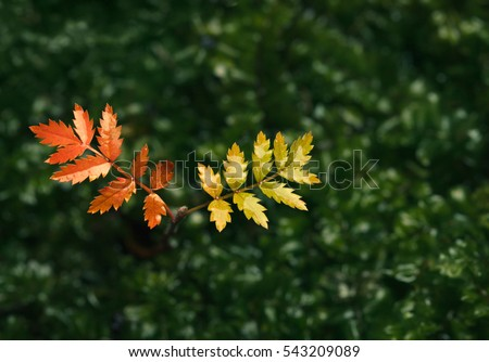 Tiny tree rowan (Sorbus aucuparia) with red and yellow coloured leaves in autumn over wet green forest floor