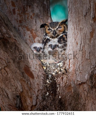 Tiny, two week old baby owls, peak out in curiosity at dawn - stock photo