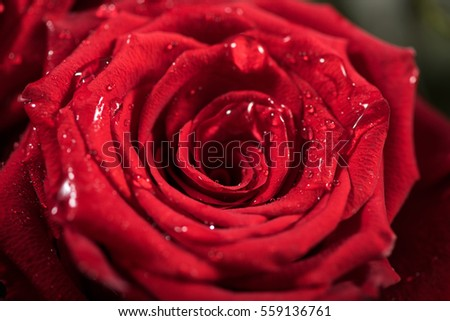 Tiny water droplets on red rose flower, close-up