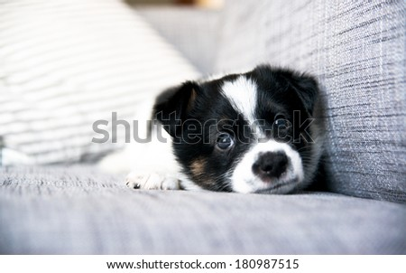 Tiny White and Black Cute Puppy on Sofa at Home - stock photo