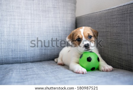 Tiny White and Fawn Cute Puppy with Green Soccer Ball on Sofa at Home - stock photo