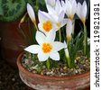 Tiny white crocus flowers with orange centres in pots - stock photo